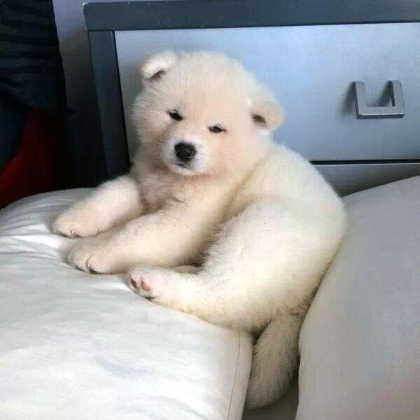 Rise And Shine With Akita Puppies