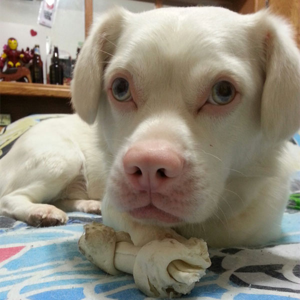 Albino dogs like Gohan have an absence of color on the nose and around the eye sockets. Photo by gohan the dog on Tumblr.