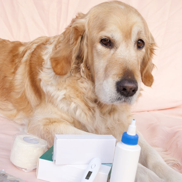 A golden retriever surrounded by medical equipment.