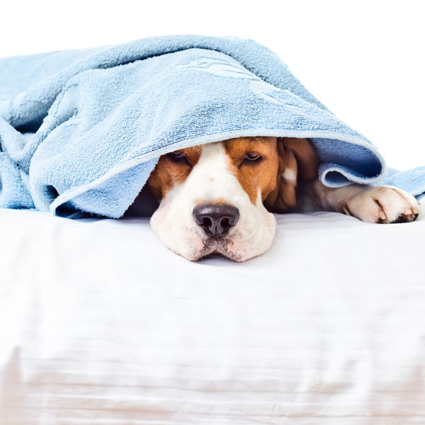 A dog wrapped up in a blanket or towel.