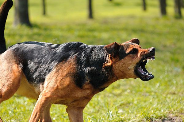how to teach your dog to attack