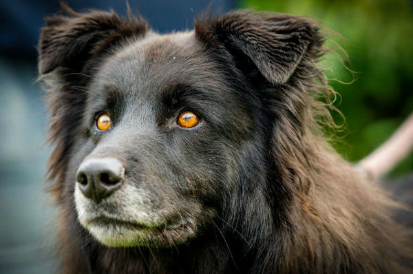 White Dog Breed With Yellow Eye Patch