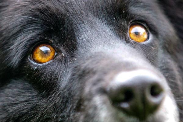 Dogs With Orange Eyes