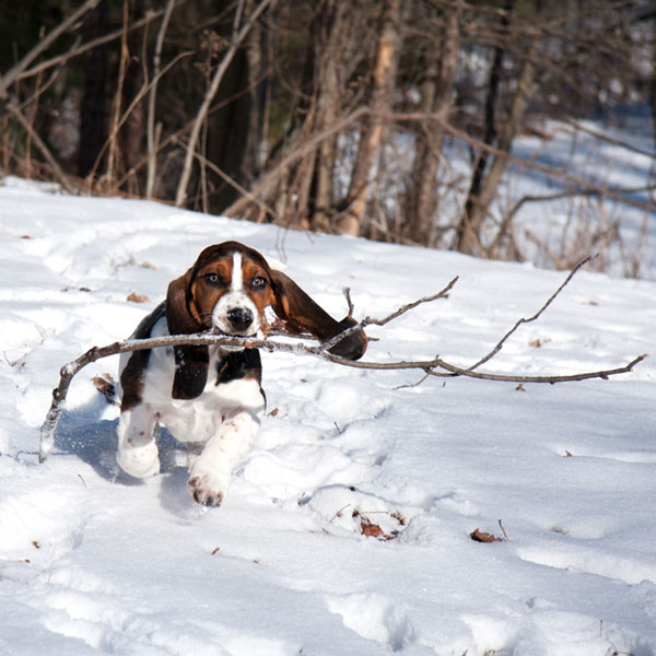 Basset Hound Puppies, Anyone? It's Time for a Cuteness Break!