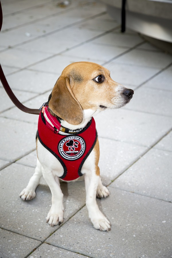 The Beagle Freedom Project Gives Retired Lab Dogs Forever Homes