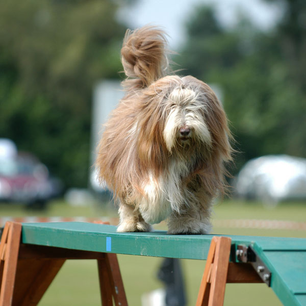 Get to Know the Bearded Collie: The Bouncing and Bubbly Scot