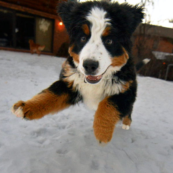 These Pictures Of Bernese Mountain Dog Puppies Lead Straight