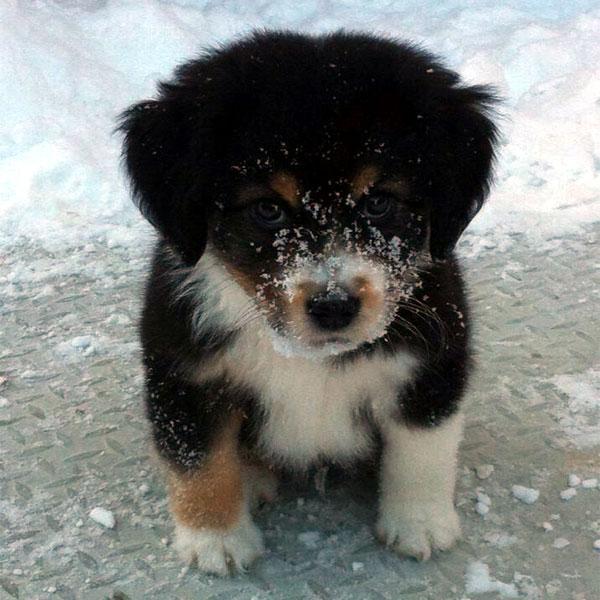 Popular Bernese Mountain Dog Chubby Adorable Dog - bernese-mountain-dog-puppies-07  Snapshot_74289  .jpg