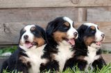 These Pictures of Bernese Mountain Dog Puppies Lead Straight to Alpine Ecstasy