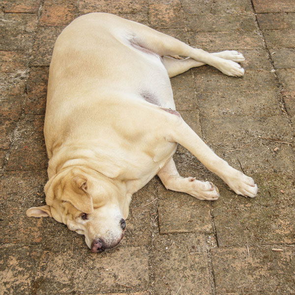A bloated dog lying down.