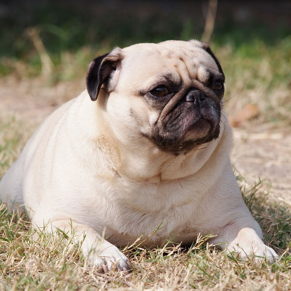 A bloated pug lying down.