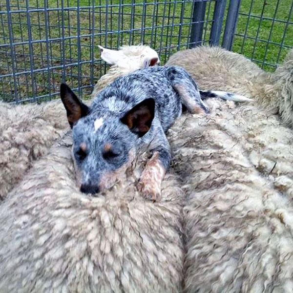 Blue Heeler Cattle Dogs For Sale