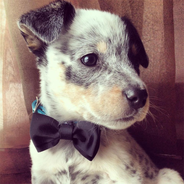 Photos Of Blue Heeler Puppies