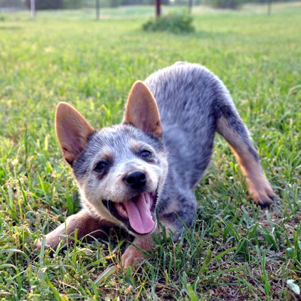 Mini Australian Cattle Dog Puppies For Sale