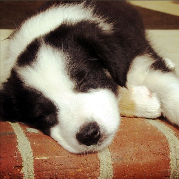 Border Collie Puppies in Pictures, at Play, at Work, and at Rest