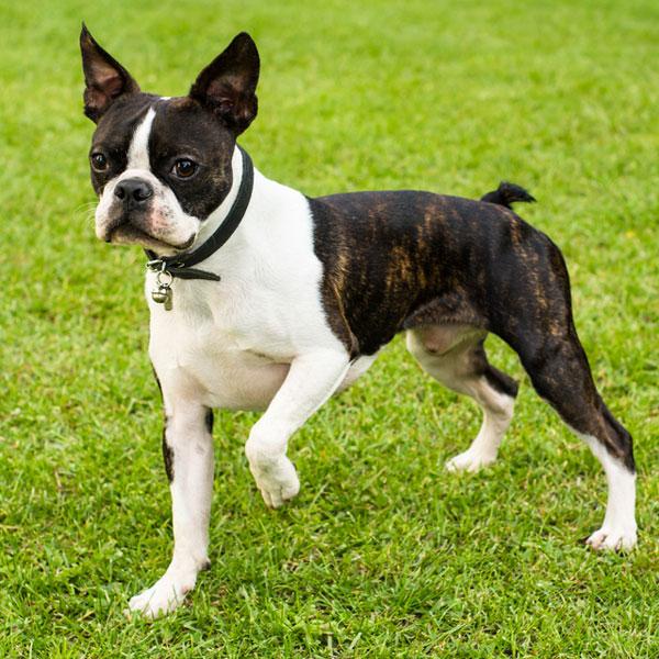 boston terriers were created when coachmen of wealthy bostonians ...
