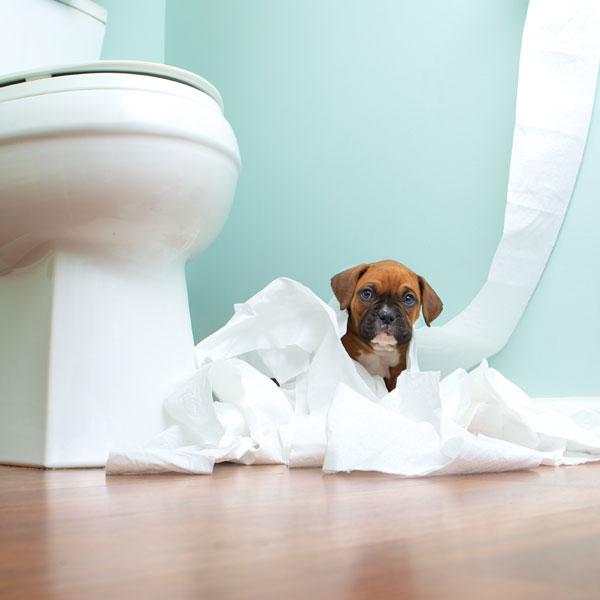 Resultado de imagen para boxer dog, in the toilet