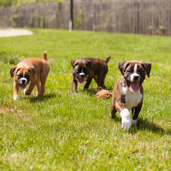 Boxer Puppies: Mischief-Makers or Model Citizens Among Dogs?