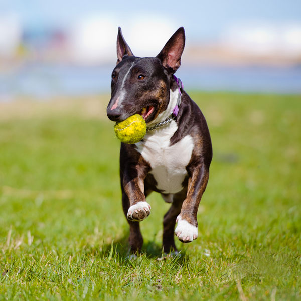 Get to Know the Bull Terrier: A Breed with a Cavalier Attitude