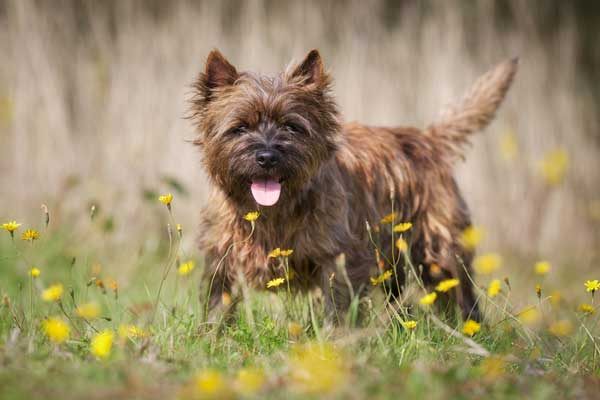 Get to Know the Cairn Terrier — and Toto, Too!