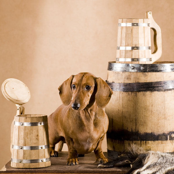 A dachshund dog in a beer brewery.