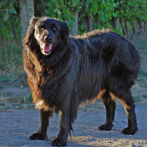 A happy black dog.