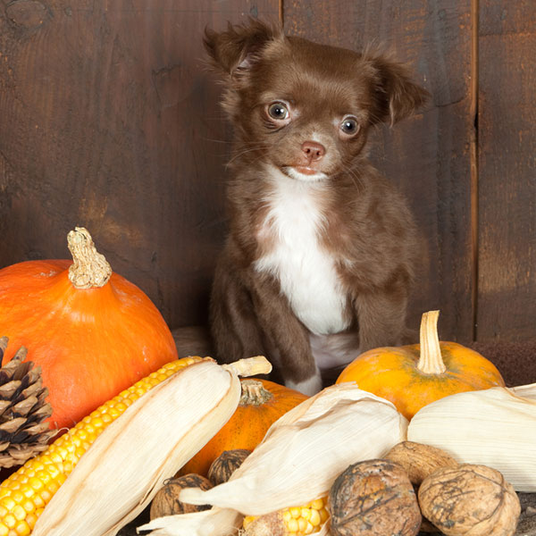 A brown and white puppy with fall fruits like pumpkins, corn, and other gourds.