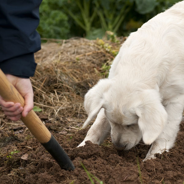 A dog digging as someone else digs on a farm, too.