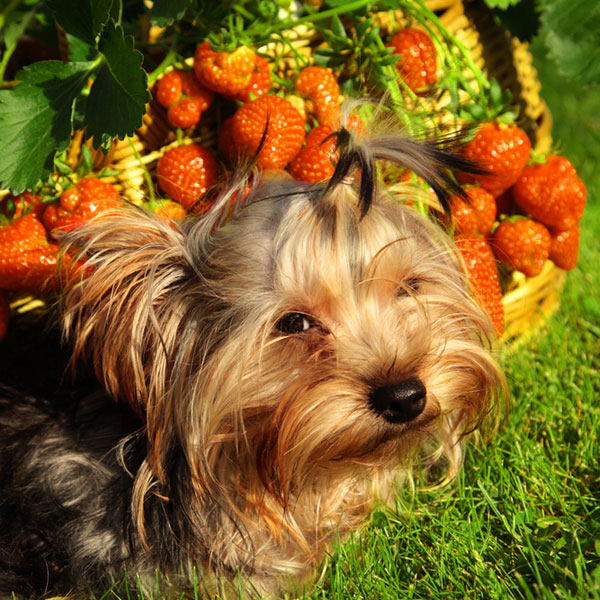 Can Dogs Eat Raspberries And Strawberries