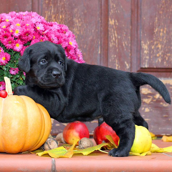A black puppy dog with pumpkins and other gourds.