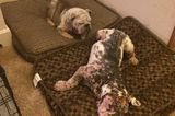 Meet Captain, an Abandoned Bulldog With Severe Mange Who Needs a Forever Home