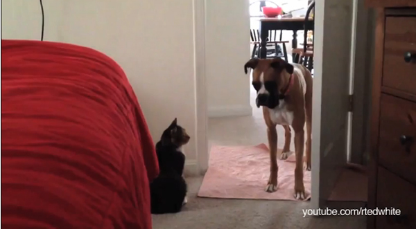Viral Video: In Which Dogs Dare Not Cross the Path of Cats