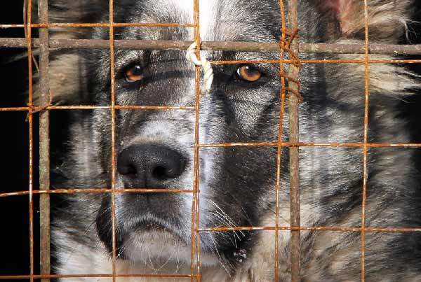 Central Asian Shepherd in cage by Shutterstock