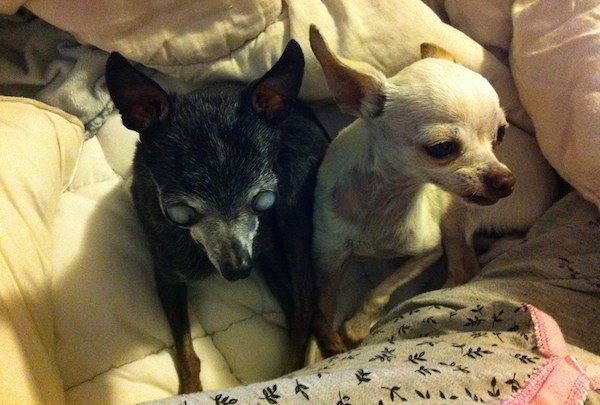 A 16-Year-Old Blind Chihuahua Is Adopted After a Life of Breeding
