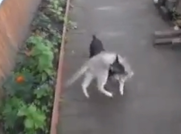 Vid We Love: Watch a Chihuahua Play Fetch the Cat
