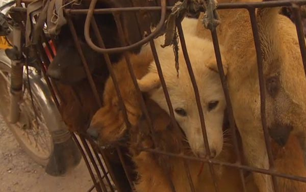 Changes in China: Annual Dog Meat Festival Sparks Outrage