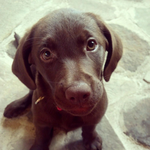 These Pictures of Chocolate Lab Puppies Are a Canine Brownout