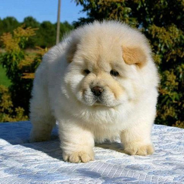 Beautiful Puffy Chubby Adorable Dog - chow-chow-puppies-01  Snapshot_678145  .jpg
