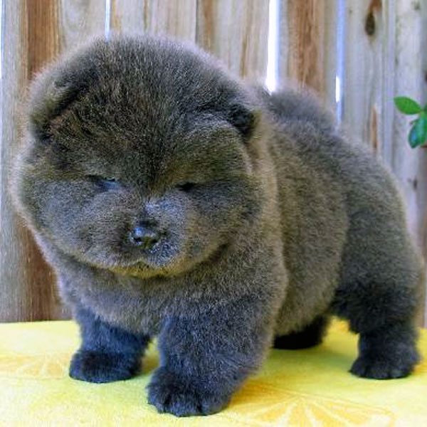 Fluffy Emergency Chow Chow Puppies Are On The Loose