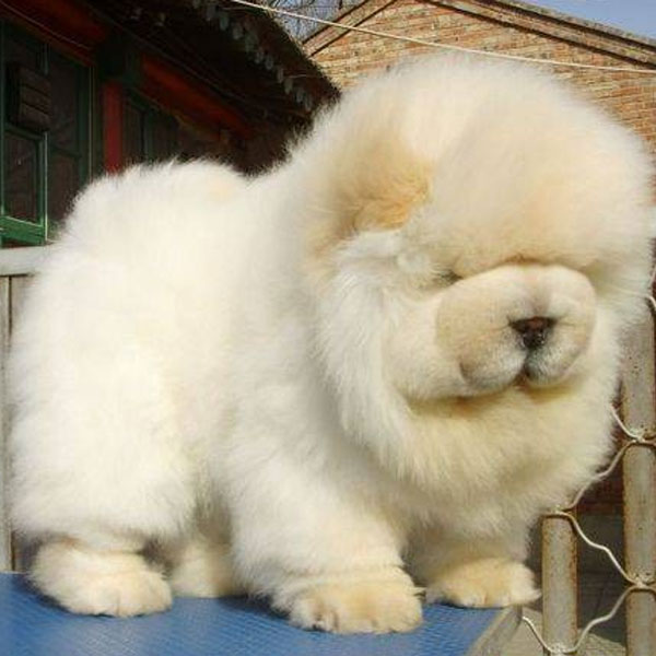 Top Puffy Chubby Adorable Dog - chow-chow-puppies-06  Gallery_623167  .jpg