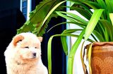 Fluffy Emergency! Chow Chow Puppies Are on the Loose!