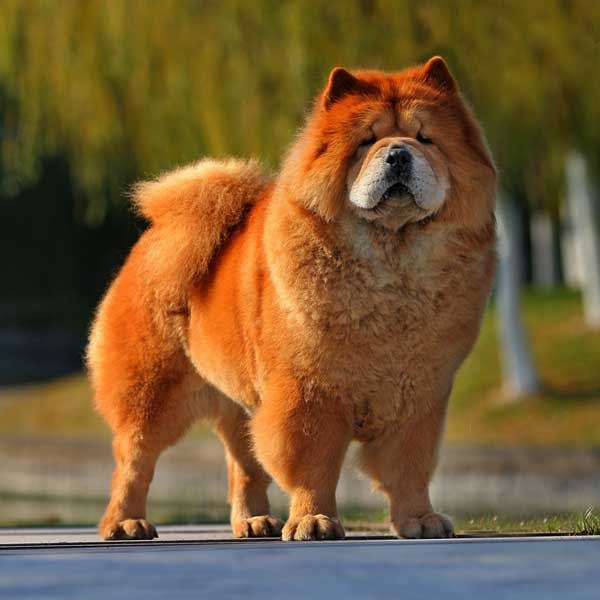 get to know the chow chow china s chosen one