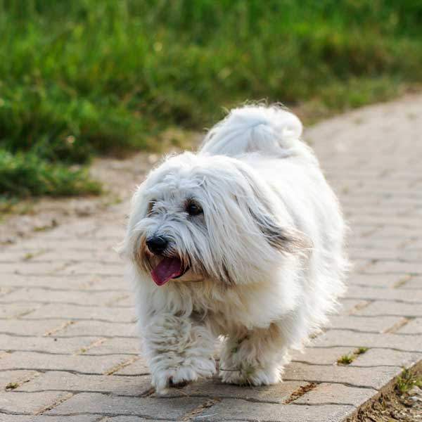 Get to Know the Coton de Tulear: Cotton Candy on Four Legs