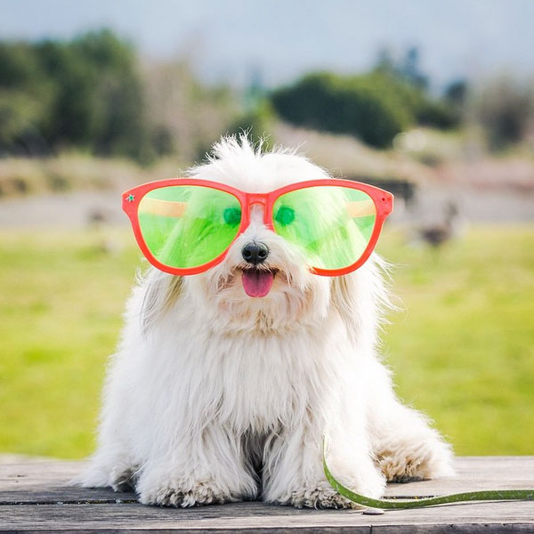 Get Ready for Spring With These Coton de Tulear Puppy Pictures