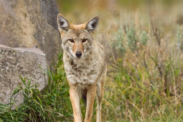 Coyote Dog