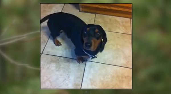 Little Dachshund Is a Big Hero: He Saved Men from a 400-Pound Mama Bear