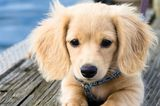 And Now, More Dachshund Puppy Pictures Than You Can Handle