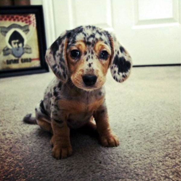 And Now More Dachshund Puppy Pictures Than You Can Handle