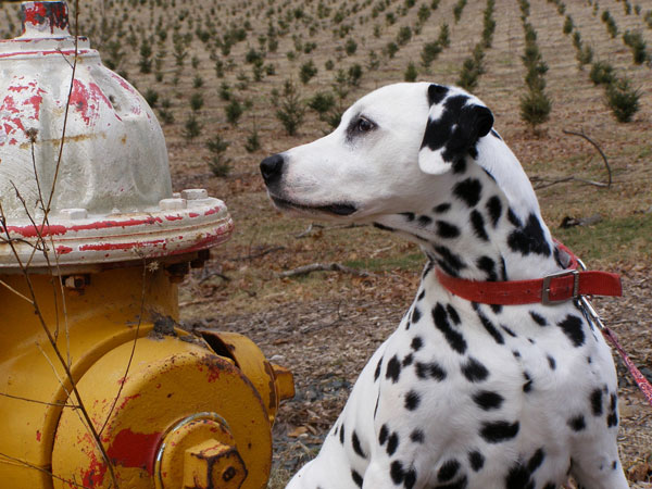 Get to Know the Dalmatian: A Frisky, Freckled Friend