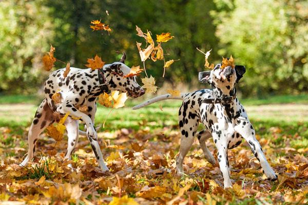 Dalmatian Dog Movie